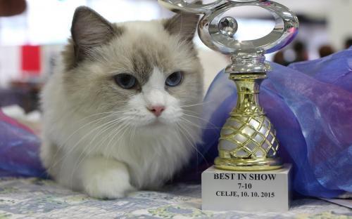 Mednarodna razstava mačk Celje 2015